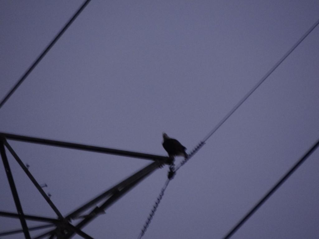 bald eagle, Bloomfield