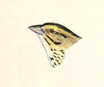 Henslow sparrow, Robert Ridgway