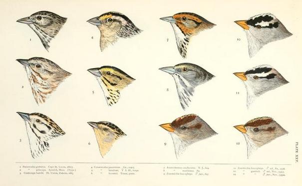 Ridgway Baird History Plate 25