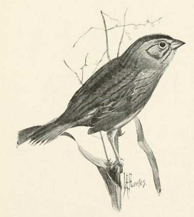 henslow's sparrow, Fuertes