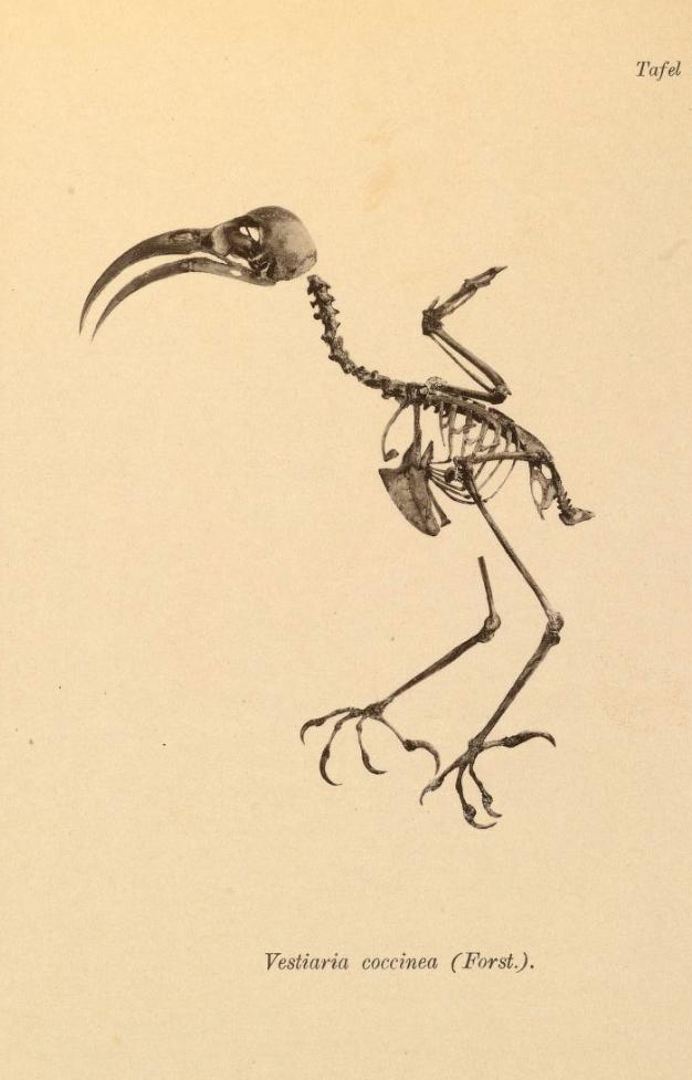 Iiwi Vogelskeletten Meyer